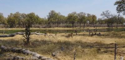 Babouin au bord de la rivière Khwai - Botswana