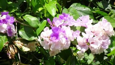 Fleurs à Vinales - Cuba