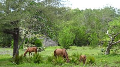 Troupeau dans la vallée de Vinales - Cuba