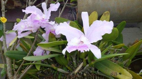 Orchidées au jardin botanique de Vinales - Cuba