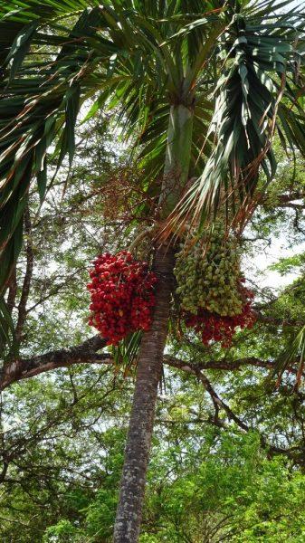Palmier dattier - Caldera (Costa Rica)