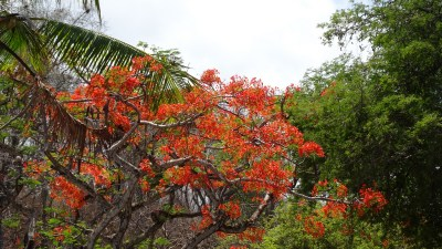 Flamboyant - Caldera (Costa Rica)