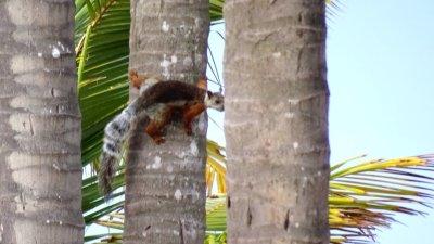 Un écureuil dans les cocotiers du jardin - El Roble (Costa Rica)