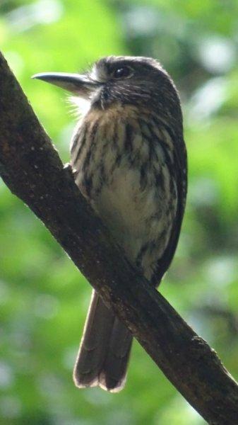 Un Tamatia de Lafresnaye dans la forêt tropicale du parc National Carara - Costa Rica