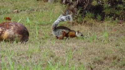 Un écureuil dans le jardin à El Roble - Costa Rica