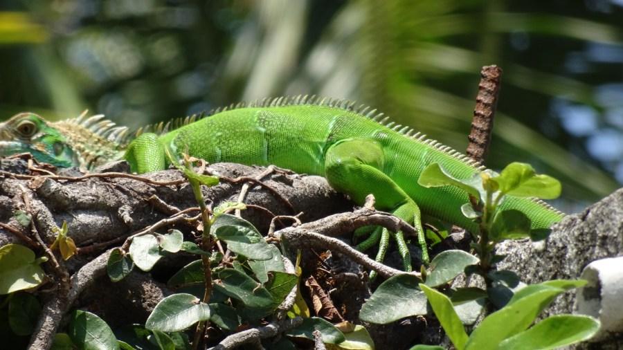 Un iguane vert dans le jardin à El Roble - Costa Rica