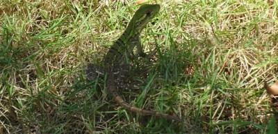 Un lézard vert - El Roble (Costa Rica)