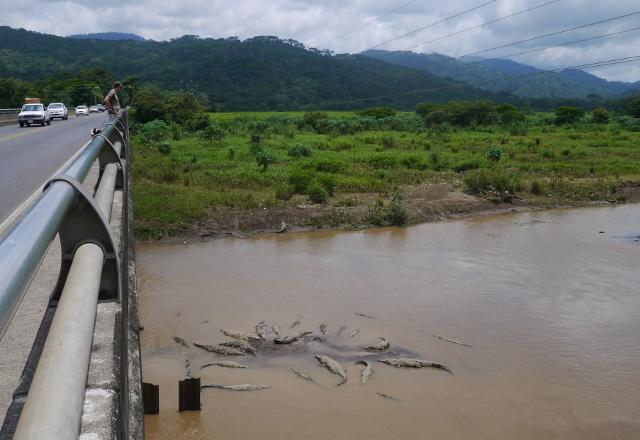 Les crocodiles du Rio Grande de Tarcoles - Costa Rica