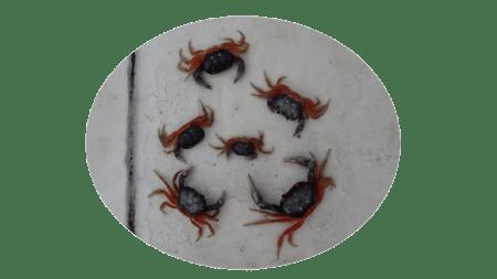 Petits crabes - El Roble (Costa Rica)