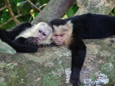 Singes capucin - Caldera (Costa Rica)
