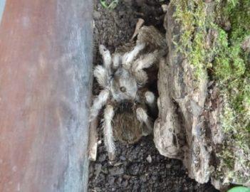 Une tarantule - Costa Rica