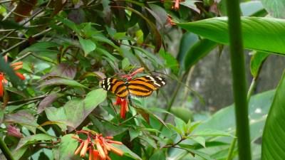 Les papillons du jardin de Mariposas - Costa Rica