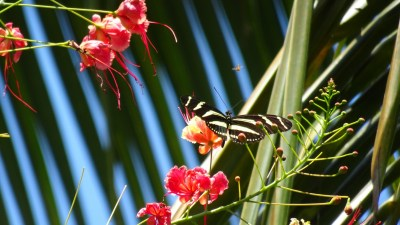 Un papillon dans notre jardin d'El Roble - Costa Rica