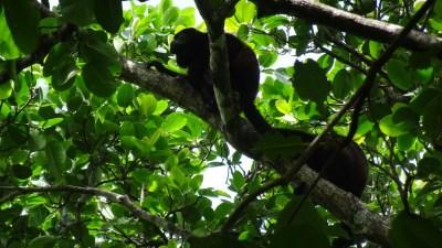 Des singes hurleurs au parc de Cahuita - Costa Rica