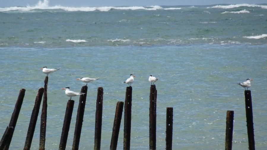 Des sternes en bord de mer du parc de Cahuita - Costa Rica