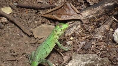 Un lézard vert - parc de Palo Verde (Costa Rica))