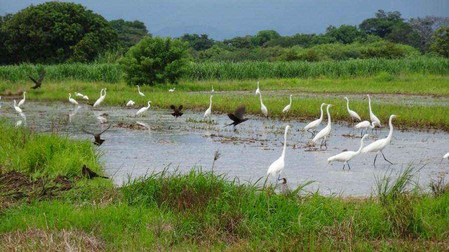 Rassemblement d'aigrettes - Parc de Palo Verde (Costa Rica)
