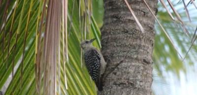 Pivert dans notre jardin d'El Roble - Costa Rica