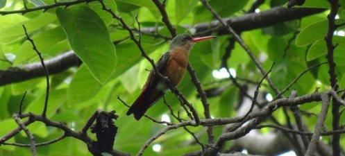 Un colibris - parc de Palo Verde (Costa Rica)