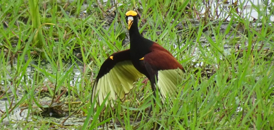 Un jacana - Parc de Palo Verde (Costa Rica)