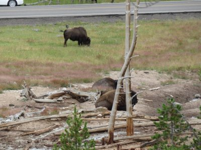 Bisons - Le Parc National de Yellowstone - Wyoming (USA)