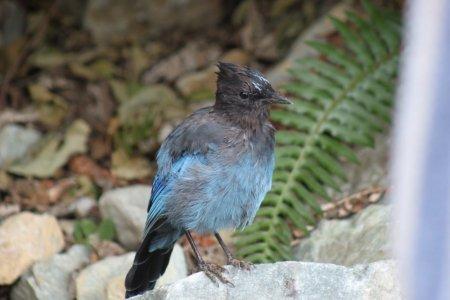 Un bel oiseau bleu au Riverside Resort RV Campground - Whistler (Canada)