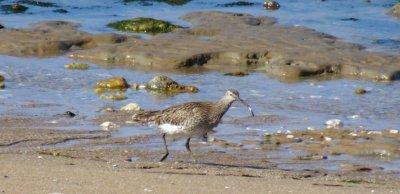 Les oiseaux du bord de mer des Moutiers-en-Retz