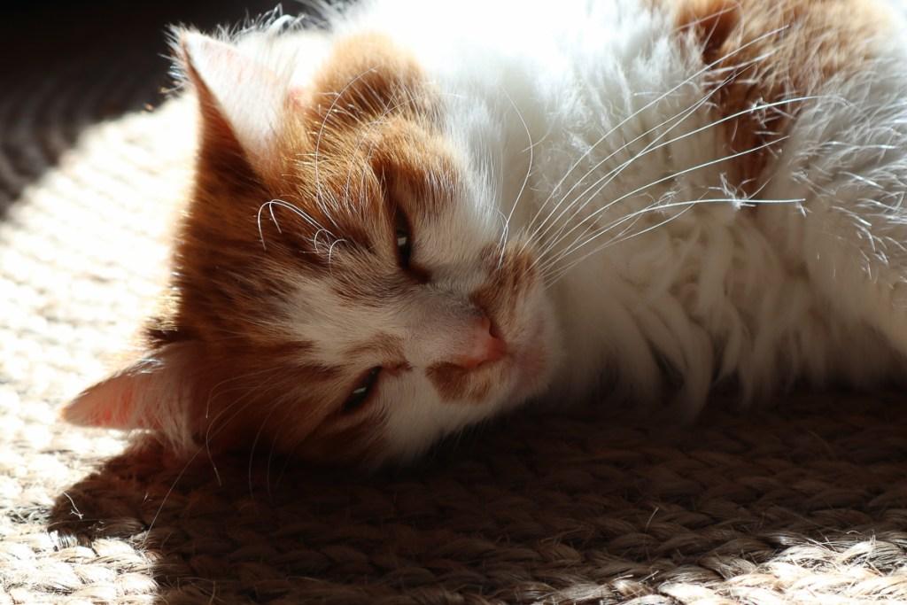 Le chat que nous gardons pendant le gardiennage de maison dans notre article Le house sitting : Le gardiennage de maison pour voyager à faible coût #housesitting #gardiennagedemaison #vacances #voyage #catsitting #voyagerpascher