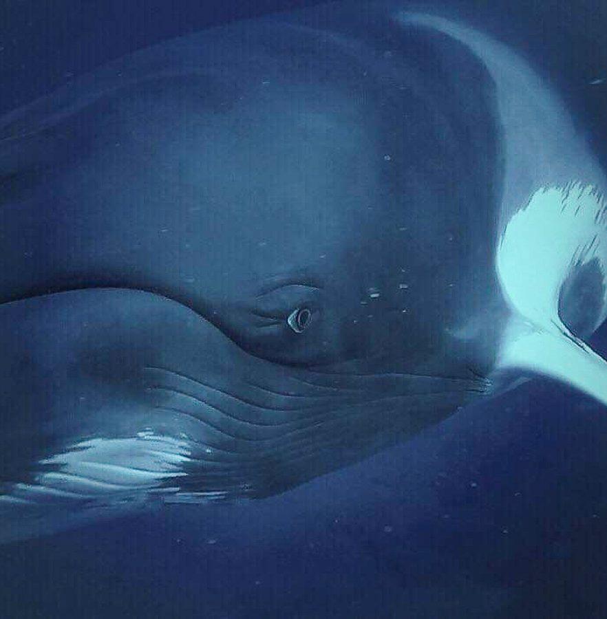 Plongée avec les baleines Minke à la Grande Barrière de corail en Australie dans notre article Plongée sous-marine : 20 destinations de plongée à travers le monde #plongee #plongeesousmarine #voyage #destination