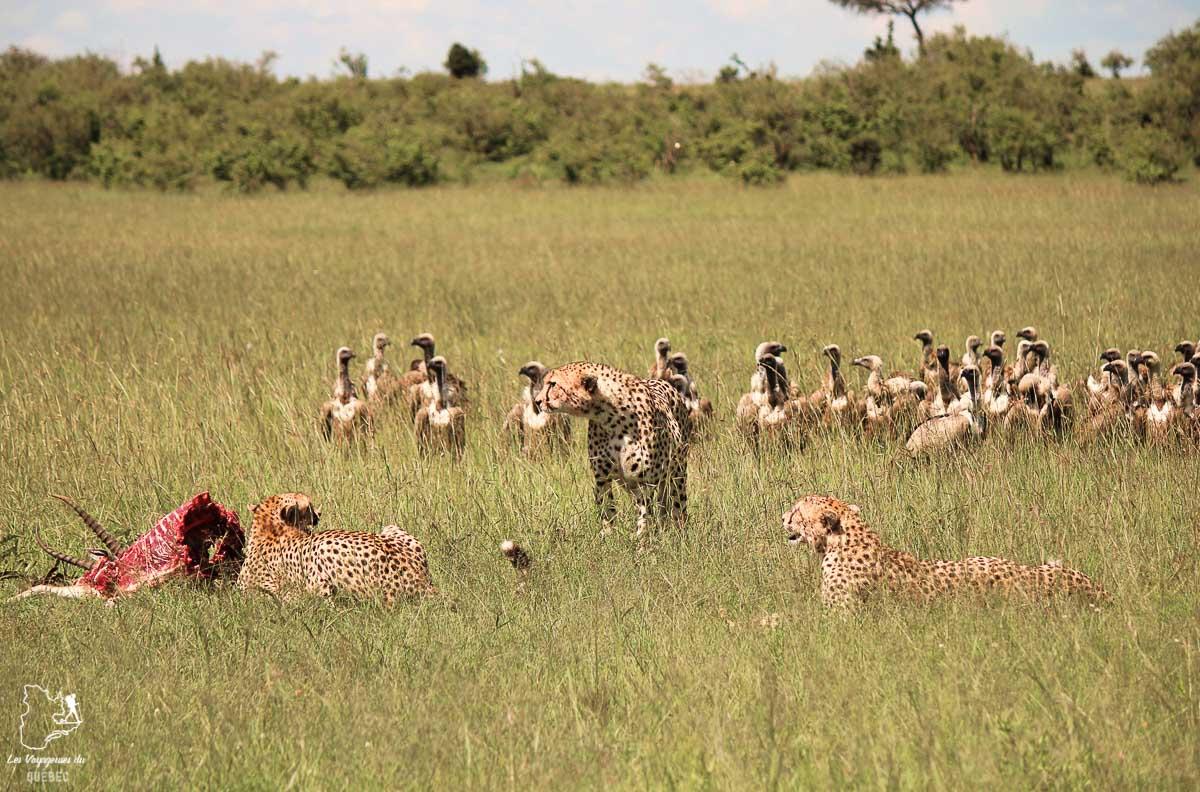 Guépards lors d'un safari au Kenya dans notre article Safari au Kenya et en Tanzanie : comment l'organiser et s'y préparer #kenya #tanzanie #safari #afrique #voyage