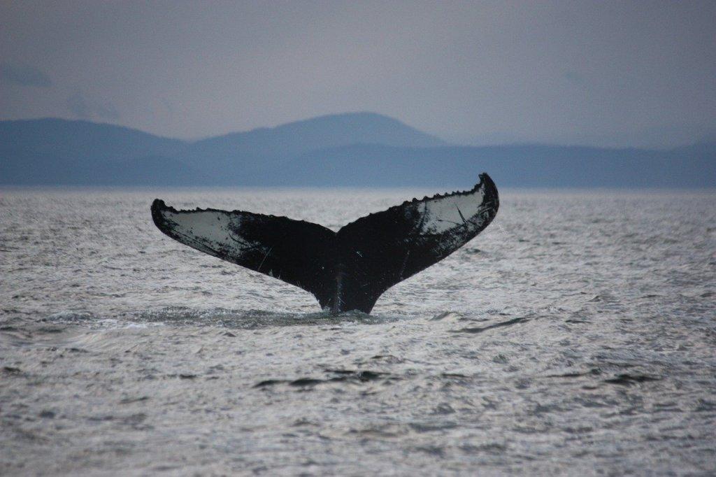 Baleine au Cap Bon Désir sur la Côte-Nord dans notre article Visiter la Côte-Nord au Québec : mes coups de cœur tout en nature #cotenord #quebec #canada #nature