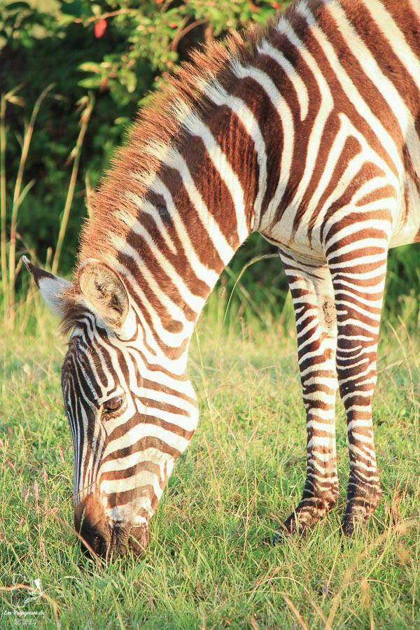 Zèbre dans un safari en Tanzanie dans notre article Safari au Kenya et en Tanzanie : comment l'organiser et s'y préparer #kenya #tanzanie #safari #afrique #voyage