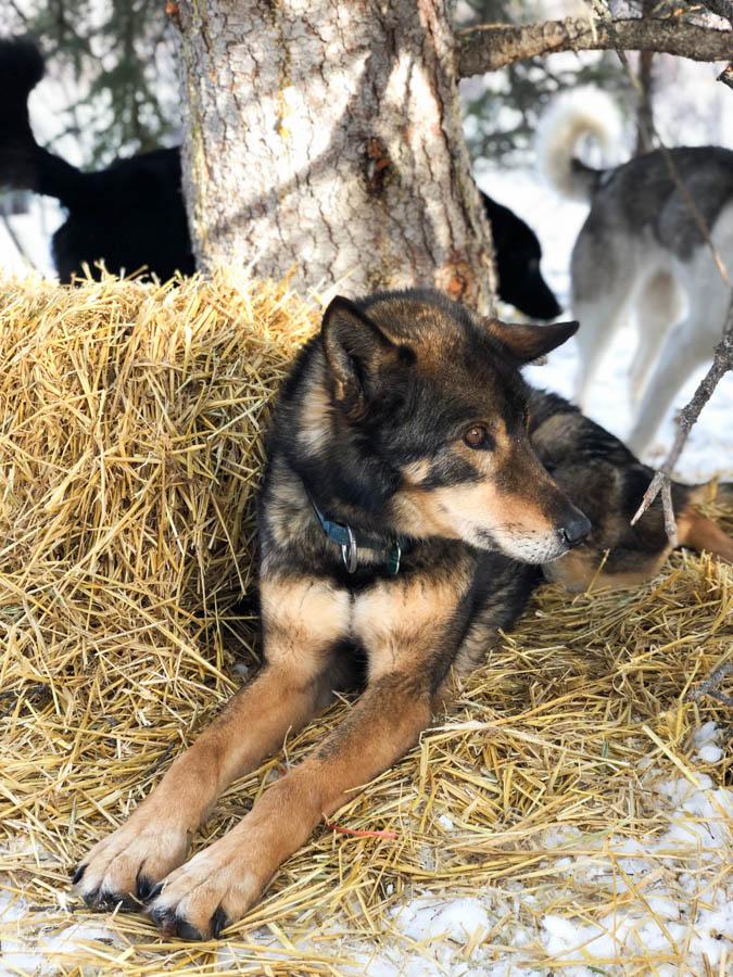 Les chiens du Boreal Kennels à Car Cross au Yukon dans notre article Visiter le Yukon en hiver : quoi faire au Yukon durant la saison hivernale #yukon #hiver #canada #voyage
