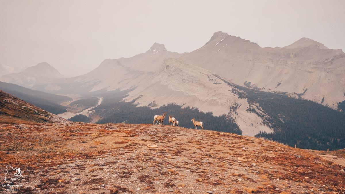 Mouflons d'Amérique sur Parker Ridge Trail à Jasper en Alberta dans notre article Voyager au Canada en temps de pandémie : Mon voyage dans l'Ouest canadien #canada #ouestcanadien #pandemie #covid19 #voyage