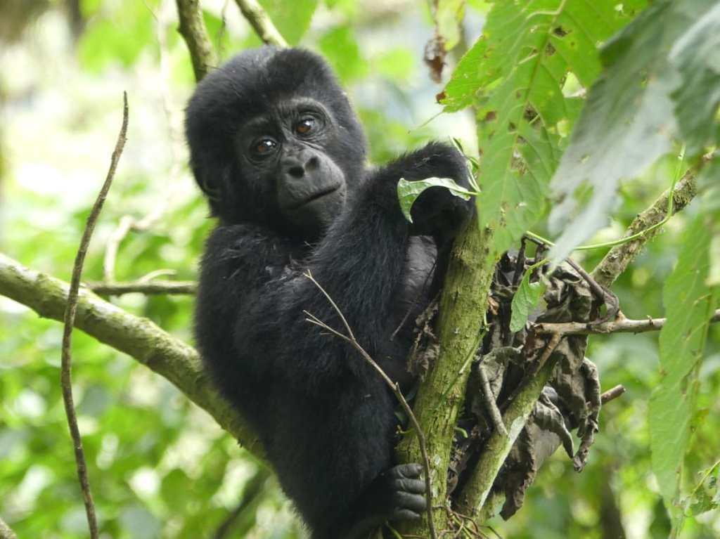 Rencontre avec un jeune gorille de montagne en Ouganda dans notre article Observation des gorilles de montagne en Ouganda à la Bwindi impenetrable forest #ouganda #gorille #singe #afrique #voyage #safari