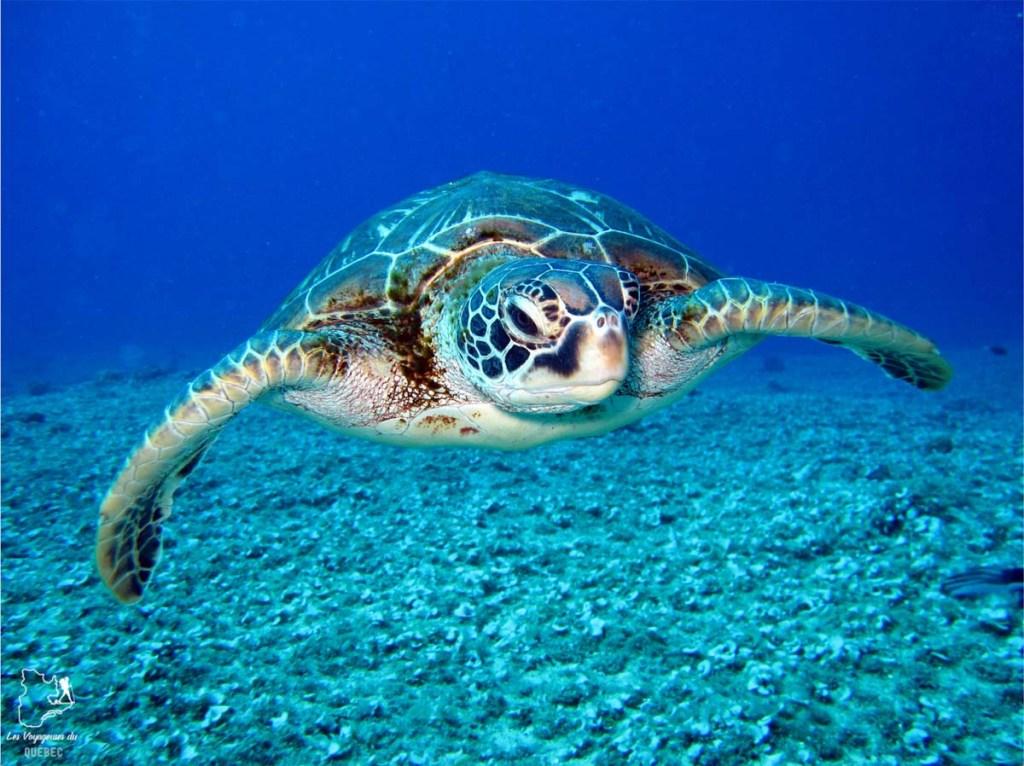 Nager avec les tortues de mer dans le Quintana Roo au Mexique dans notre article Quoi faire à Playa del Carmen et dans le Quintana Roo au Mexique en indépendant #playadelcarmen #quintanaroo #mexique #voyage #caraibes #yucatan