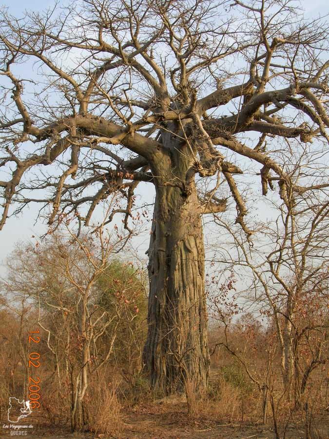 Un Baobab dans le Parc national de la Pendjari au Bénin en Afrique dans notre article Voyage au Bénin: Le Bénin en Afrique en 8 incontournables à visiter #benin #afrique #voyage