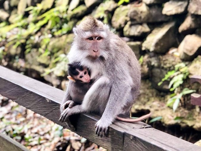 Monkey forest à Ubud à Bali dans notre article Oser partir en voyage au bout du monde malgré des barrières #voyage #oservoyager