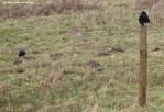 Corbeau freux