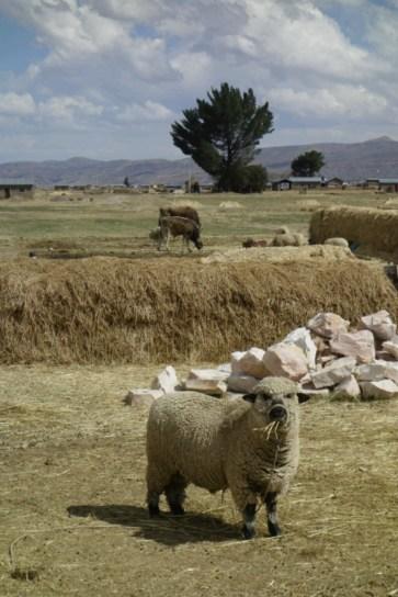 Un copain mouton