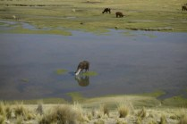 les lamas, eux, n'aiment pas se mouiller
