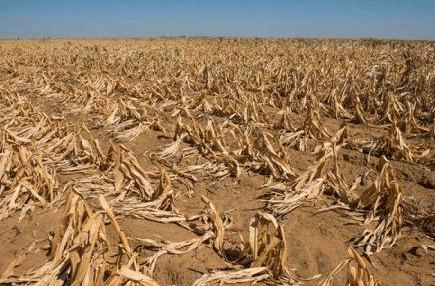 blé au zimbabwe