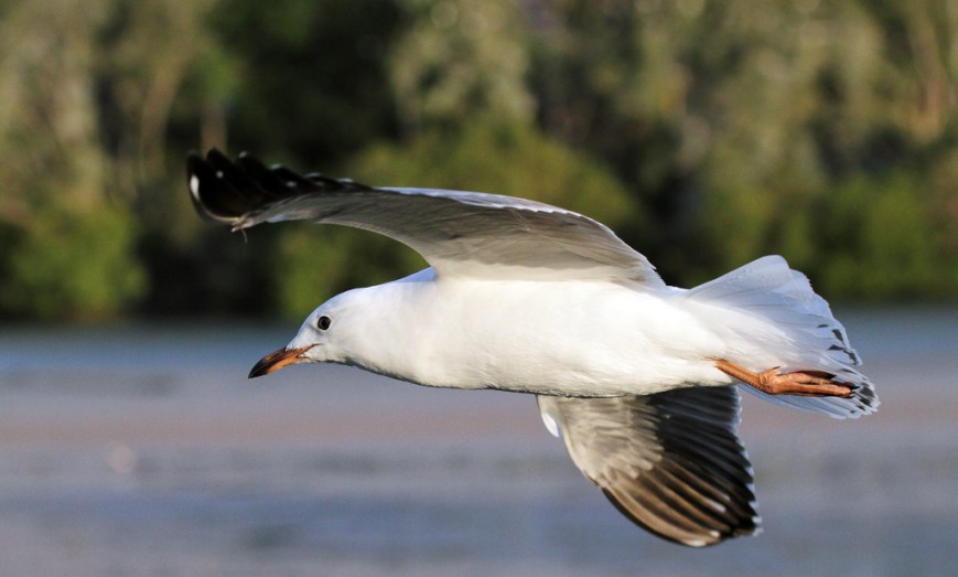 Flying-Gull