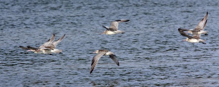 Oystercatchers-in-flight
