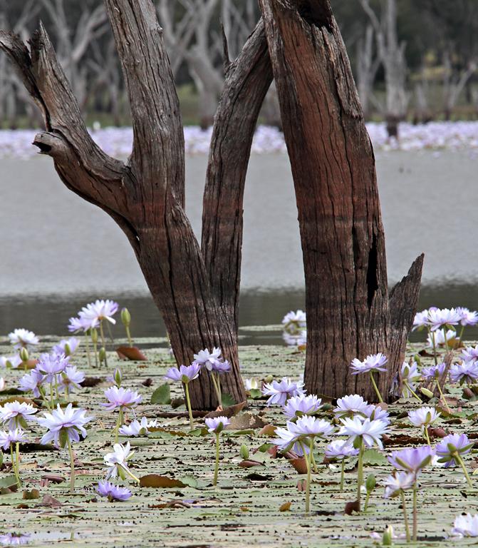 Nuga-Nuga-Tree