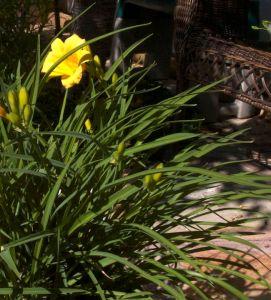 yellow4daylily