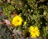 yellow8iceplant
