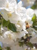 A bee buzzes around the Evans Cherry blossoms in May, 2015