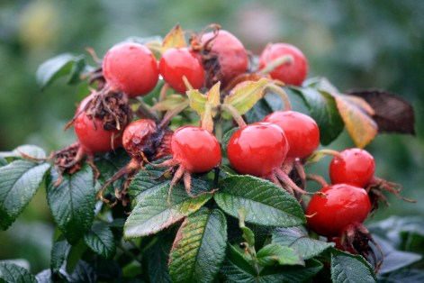 Vitamin C anyone, beautiful rosehips ready for the picking.