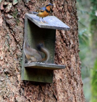 Varied Thrush getting a little too up close and personal!